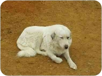 Great Pyrenees Dog for adoption in Kyle, Texas - Lady