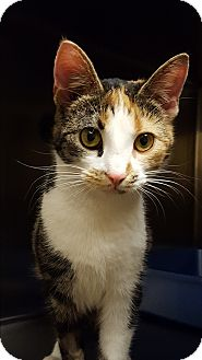 Calico Cat for adoption in Worcester, Massachusetts - Amelia