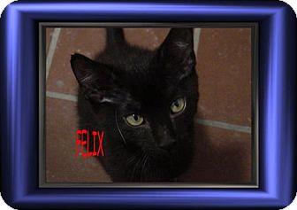 Siamese Kitten for adoption in Cushing, Oklahoma - x FELIX adopted