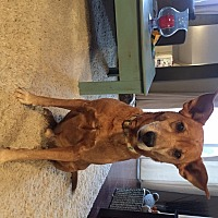 Labrador Retriever/German Shepherd Dog Mix Dog for adoption in Cambridge, Ontario - Lance