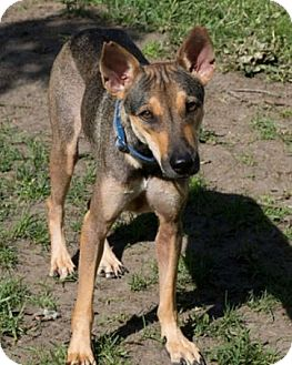 Whippet/Retriever (Unknown Type) Mix Dog for adoption in WADSWORTH, Illinois - MUI MUI