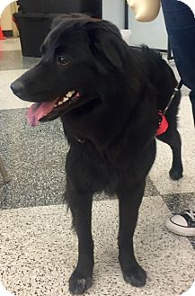 Flat-Coated Retriever Mix Dog for adoption in North Richland Hills, Texas - Maggie