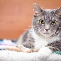 Adopt A Pet :: Pi - Arlington, VA