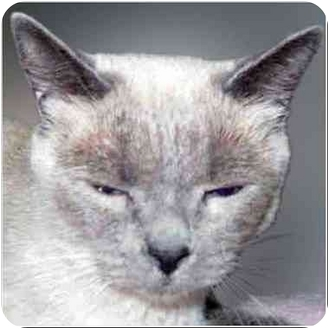 Siamese Cat for adoption in San Clemente, California - PEPPERMINT