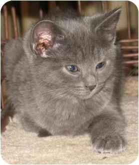 Domestic Shorthair Kitten for adoption in Acme, Pennsylvania - Creamcycle