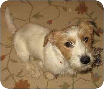 Jack Russell Terrier Dog for adoption in Thomasville, North Carolina - Buddy