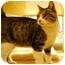 Photo 1 - Domestic Shorthair Cat for adoption in Modesto, California - Seraphina