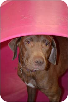 Labrador Retriever/Vizsla Mix Dog for adoption in Chicago, Illinois - Chocolate