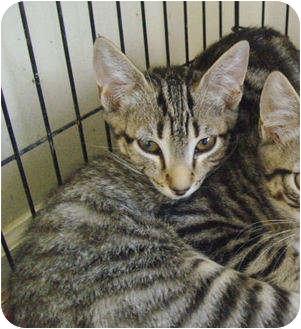 Domestic Shorthair Kitten for adoption in Colmar, Pennsylvania - Luciano