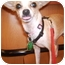 Photo 1 - Chihuahua/Chihuahua Mix Dog for adoption in Umatilla, Florida - Bambi