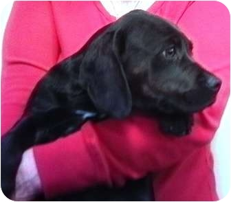 Labrador Retriever Mix Puppy for adoption in Nuevo, California - Satty