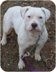 American Pit Bull Terrier Mix Dog for adoption in Bloomfield, Connecticut - Snowflake