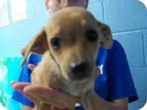 Dachshund Mix Puppy for adoption in Las Vegas, Nevada - F's Fallon -N