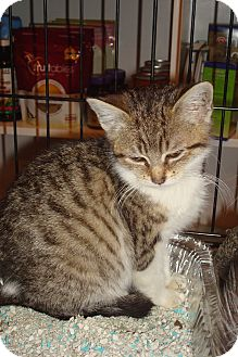 Domestic Shorthair Kitten for adoption in Brooklyn, New York - Pistachio