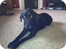 Labrador Retriever Mix Dog for adoption in Lewisville, Indiana - Abby
