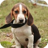 Beagle Puppy for adoption in Allentown, Pennsylvania - Toby