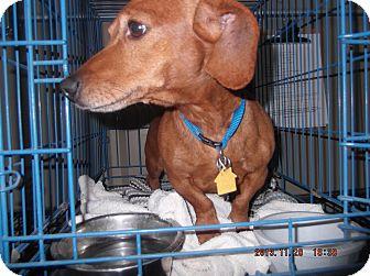 Dachshund Dog for adoption in Lubbock, Texas - Rusty
