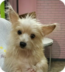 Yorkie, Yorkshire Terrier/Chihuahua Mix Dog for adoption in St. Petersburg, Florida - Chloe