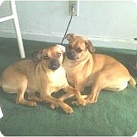 Adopt A Pet :: Laila - Croton, NY
