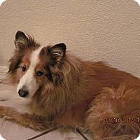 Adopt A Pet :: Beau - apache junction, AZ