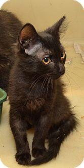 Domestic Shorthair Kitten for adoption in Richmond, Missouri - Mufasa