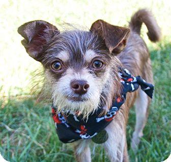 Chihuahua Mix Dog for adoption in Charlotte, North Carolina - Olaf