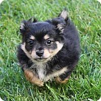 Adopt A Pet :: Oreo - La Habra Heights, CA