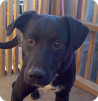 Border Collie/Labrador Retriever Mix Puppy for adoption in Manhattan, Kansas - Chance