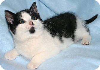 Domestic Shorthair Cat for adoption in Simcoe, Ontario - Buddie