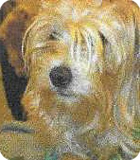 Lhasa Apso/Poodle (Miniature) Mix Dog for adoption in Spokane, Washington - Trisha