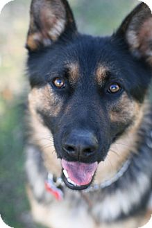 German Shepherd Dog Dog for adoption in Studio City, California - Mack