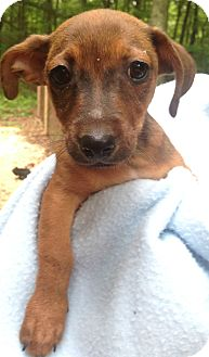 Chihuahua/Dachshund Mix Puppy for adoption in Foster, Rhode Island - Cole