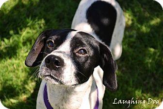 Beagle Mix Dog for adoption in Stillwater, Oklahoma - Loki