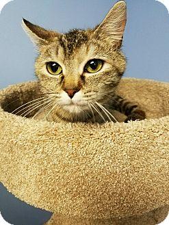Domestic Shorthair Cat for adoption in Glen Mills, Pennsylvania - Ellie