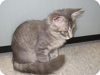 Domestic Mediumhair Kitten for adoption in Tallahassee, Florida - Picolino