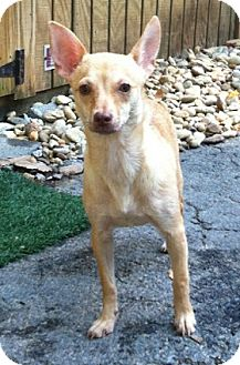 Feist/Chihuahua Mix Dog for adoption in Concord, North Carolina - Big Mama