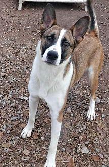 German Shepherd Dog/Australian Cattle Dog Mix Dog for adoption in Peralta, New Mexico - **HALO