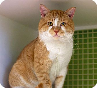 American Shorthair Cat for adoption in Troy, Michigan - Chaz