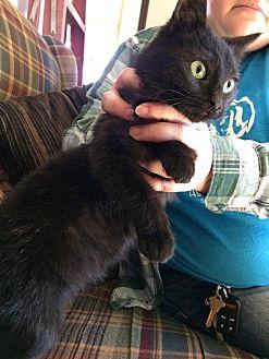 Domestic Shorthair Cat for adoption in Jefferson, North Carolina - Chubbykins