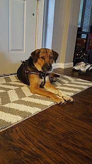 Hound (Unknown Type)/Shepherd (Unknown Type) Mix Dog for adoption in Ft Worth, Texas - Sadie