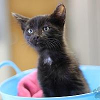 Domestic Mediumhair Kitten for adoption in Yukon, Oklahoma - Ozzy (Nikki's foster)