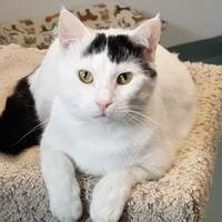 Domestic Shorthair/Domestic Shorthair Mix Cat for adoption in BATH, New York - Raymond