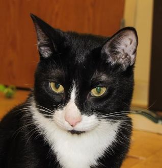 Domestic Shorthair/Domestic Shorthair Mix Cat for adoption in Woodstock, Illinois - Rocco
