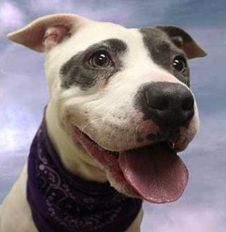 American Pit Bull Terrier Mix Dog for adoption in Cincinnati, Ohio - Lillian