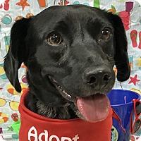 Adopt A Pet :: Anna - Newington, VA