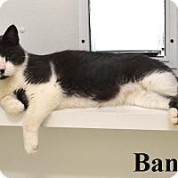 Adopt A Pet :: Bandit - Fryeburg, ME