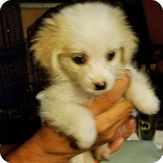Chihuahua/Pomeranian Mix Puppy for adoption in Osteen, Florida - Tink #3F