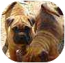 Shar Pei/Boxer Mix Puppy for adoption in Fenton, Missouri - Shar pei pups