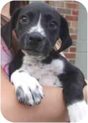 Border Collie/Labrador Retriever Mix Puppy for adoption in Kokomo, Indiana - Toby