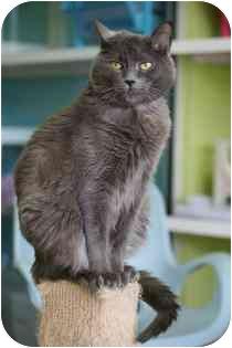 Domestic Shorthair Cat for adoption in Marietta, Georgia - Springie